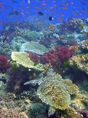 Hawksbill Turtle, Bligh Waters, Fiji (Dylan Coleman) Tags: fiji scuba diving waters raki bligh