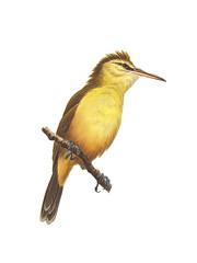 Ga'Karisa (Nightingale Reed-Warbler)