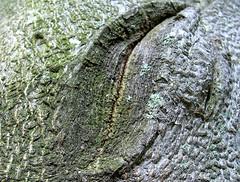 skin 11 (dmixo6) Tags: autumn trees ontario canada abstract fall texture nature october bark muskoka scar dmixo6
