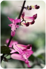 Happy Beautiful Bokeh Wednesday! (Mahnie) Tags: pink flowers glow bokeh pennsylvania salvia glowing tubular longwoodgardens roundedcorners hbw 100mmmacrof28 canon450d