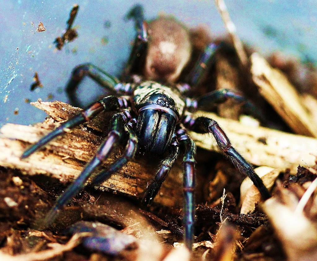 Melbourne Trap-door Spider0007 (~*Art Images*~) Tags spider & The World\u0027s Best Photos of fangs and trapdoor - Flickr Hive Mind