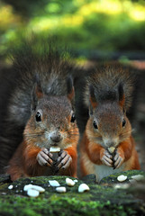 Family dinner (Sameli) Tags: family 2 two food cute nature animal animals furry hands squirrel squirrels eating nuts eat nut onephotoweeklycontest vosplusbellesphotos