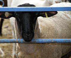 Suffolk x Hamp ram lamb