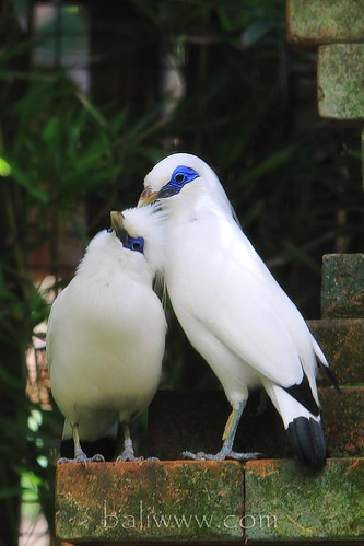"The ""Bali"" Starling"