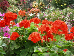 Red Geraniums (EdwinaFran) Tags: red summer fuchsia september begonia geranium englishgarden digitalcameraclub colorphotoaward 100commentgroup vosplusbellesphotos saariysqualitypictures edwinafran