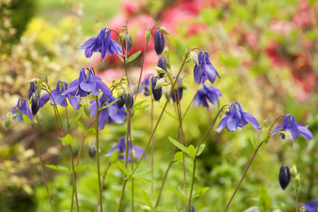 Purple Columbine over pink