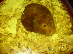 Prudence Waking Up (bleudreams) Tags: hamsters smallanimals