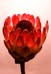 Protea (Studyjunkie) Tags: pink friends red flower closeup anglepoise lamplight protea waitrose otw project365 sigma50mmf28dgmacro diamondclassphotographer project3661 t189project365