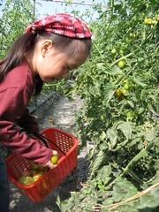 20090130-zozo採蕃茄