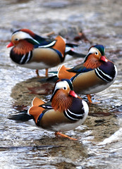 Mandarin duck (floridapfe) Tags: bird nature animal duck bravo korea mandarin mandarinduck everland  mywinners aplusphoto
