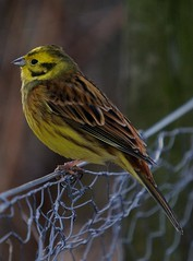 Yellowhammer. (stonefaction) Tags: nature birds scotland angus wildlife forfar loch faved
