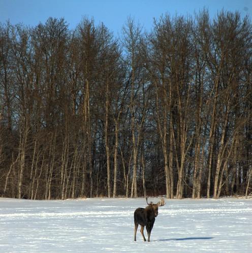 cropped moose