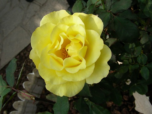 士林官邸-黃玫瑰