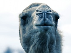 Camel (@Doug88888) Tags: pictures uk blue wallpaper closeup beard photo funny image creative picture gimp commons images camel duotone longleat doug88888