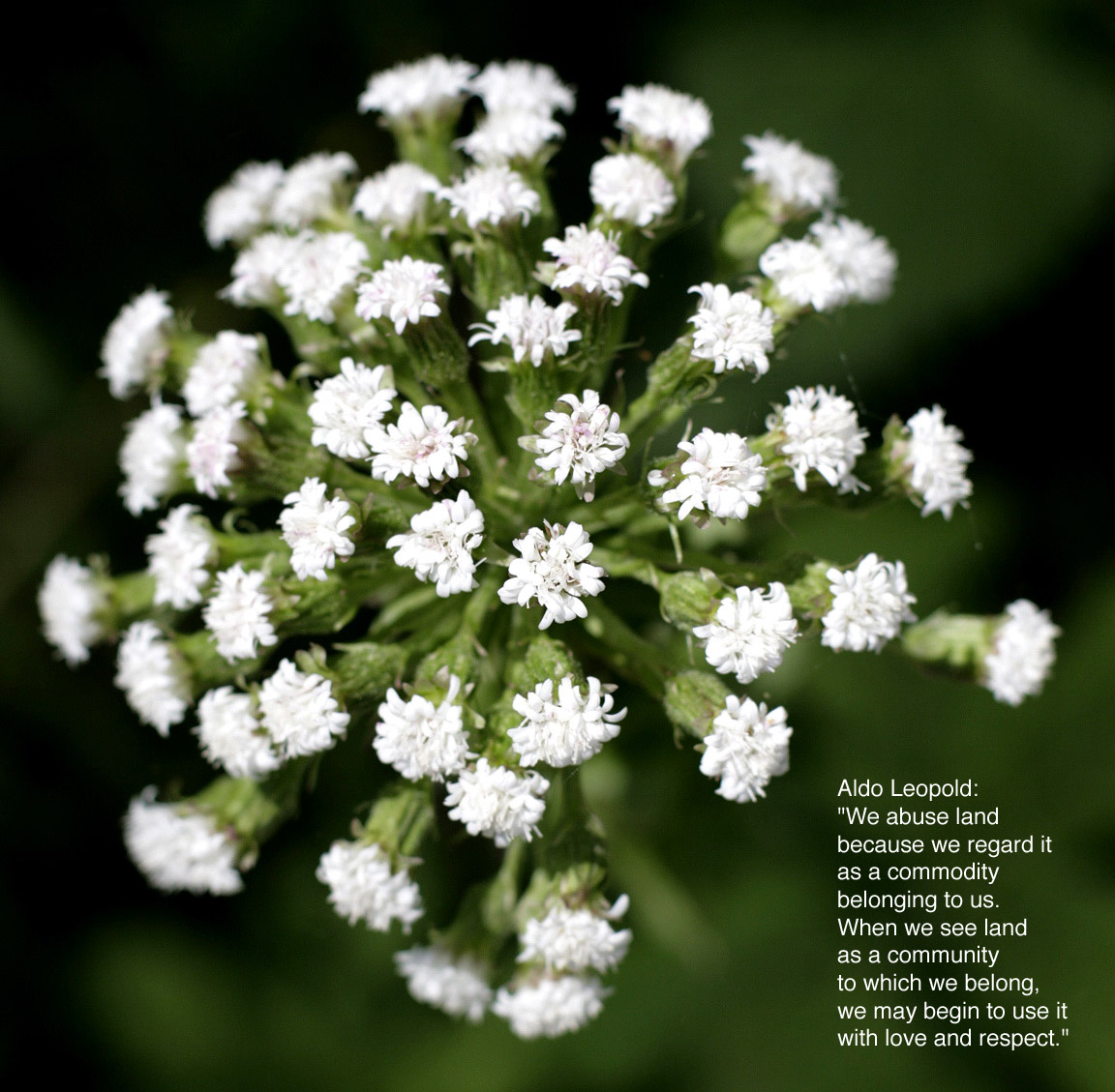 Bursting White Flower by ˇBerd with Quote by Aldo Leopold, We abuse land because we regard it as a commodity belonging to us. When we see land as a community to which we belong, we may begin to use it with love and respect. - Aldo Leopold
