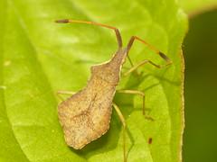 Shieldbug (Syromastus rhombeus ) (The LakeSide) Tags: macro bug insect shieldbug rhombeus syromastus