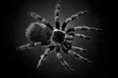 (bakjiu) Tags: museum spiders melbourne exhibition melbournemuseum bugsalive scienceandlifegallery