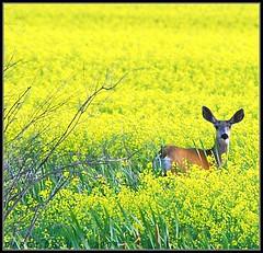 Deer In The Canola