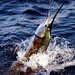 tsl_sailfish_005