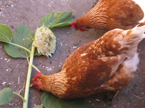 chickens love sunflower seeds