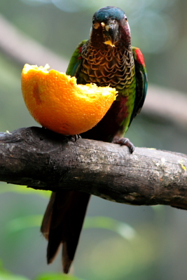 Parrot eating orange