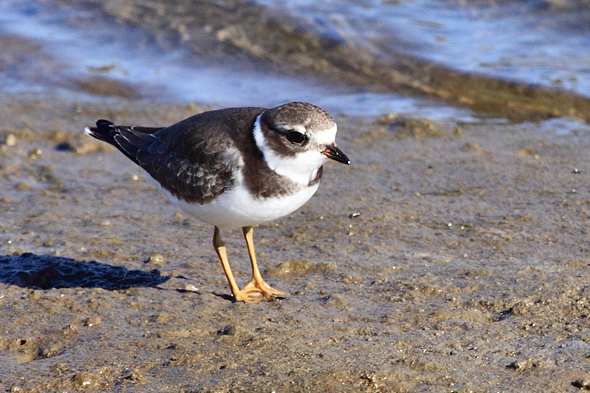 153_pipingPlover