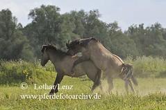 _LL13211 (Lothar Lenz) Tags: horse caballo cheval cavalo pferd hest equus niederlande paard gelderland hst hengst konik hestur herde konj hobu zirgs hengste aufreiten beweidung fotolotharlenz hengstkampf