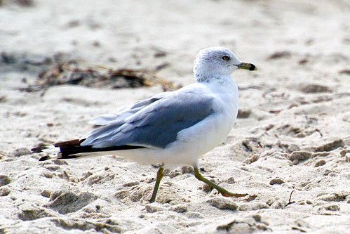 2nd year Ring-billed Gull