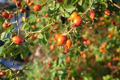 Nypon (Rutger Blom) Tags: red plant lund flower green nature public skne berry europa europe groen br sweden natur skandinavien natuur blomma sverige rood rd nypon rosehip scania br bloem zweden bes rd grn grn vxt skane rozenbottel vxt skne