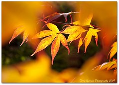 Shades of autumn (Terry Yarrow) Tags: uk light england plant leaves canon garden haze branch depthoffield japanesemaple dorset flare contrejour eos5d differentialfocus