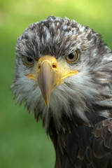 Juvenile Bald Eagle (Haliaeetus leucocephalus) (MBE - Photography) Tags: macro bird nature animals baldeagle aves haliaeetusleucocephalus birdofprey amerikaansezeearend theworldthroughmyeyes nikon105mmmicro nikond300 thewonderfulworldofbirds roofvogelworkshop27sep2009 theperfectphotoagrapher
