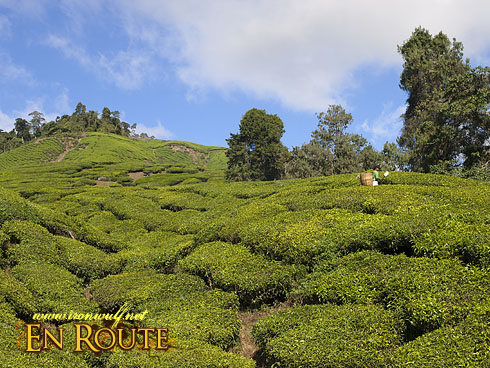 Cameron HIghlands Landscapes