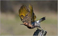 Northern Flicker in Flight (Raymond J Barlow) Tags: travel art nature nikon wildlife workshop teaching tours d300 200400vr impressedbeauty phototours