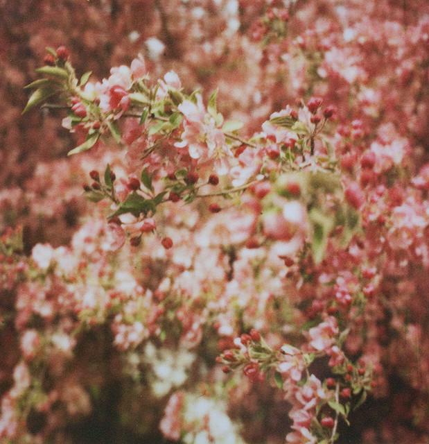 pola blossoms