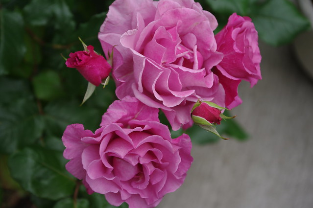 bara//rose