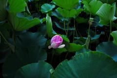 Lotus flower (M.Yuriko.M) Tags: pink flowers summer flower green nature nikon asia lotus loto   lotusflower  pinklotus d3000 lotosblume