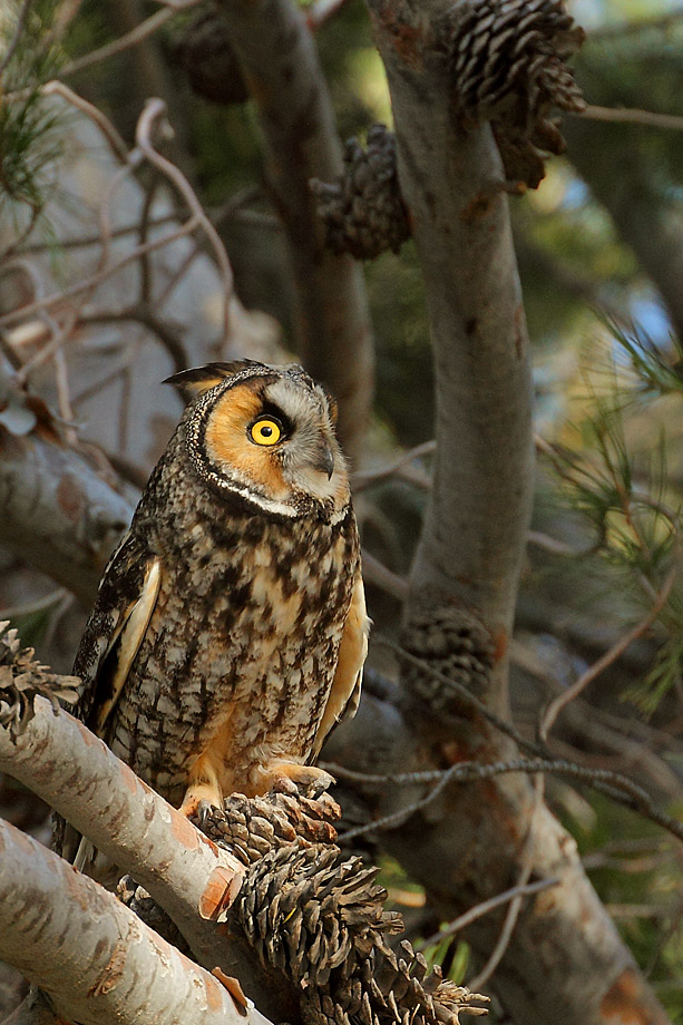 Long-eared-Owl-051109