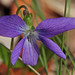Early Blue Violet (Viola palmata)