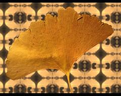 Gingko (sulamith.sallmann) Tags: plants brown collage deutschland natur pflanzen braun ginkgobiloba blatt gingko kollage ginko saarland botanik gewchse botanisch getrocknet blattadern schmelz fcherblattbaum wo0 sulamithsallmann pflanzlich silberpflaume fcherbaum gingkobltter