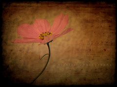 I have spread my dreams beneath your feet. Tread softly because you tread on my dreams. (~bumblebee(mirella)~) Tags: photoshop bumblebee textures dreams depechemode layers cosmos photoshop70 mirella olympusc720uz memoriesbook ~wbyeats~