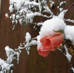Snowed in Rose (funnyhelen2) Tags: pink winter white snow cold rose topc50 flowerscolors wonderfulworldofflowers hairygitselite