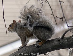 ***EXPLORE*** FBI: SOMETHING HAS CAUGHT Ms WEBSTER ATTENTION....The crows have been chasing her trying to get her peanuts from her.... poor Webster (Frozen in Time photos by Marianne AWAY OFF/ON) Tags: nature squirrel squirrels wildlife scout explore critters fbi animalfeelings backyardcritters naturesfinest sciuruscarolinensis blueribbonwinner favorites5 animalcloseups nationalgeographicwannabes mywinnerstrophy blueribbonphotography easterngreysquirrels squirrelspool scoutflickrexplore favoritesbyinterestingness flickrphotogroup adorablecritters bestofsquirrels webstersadventures mswebster awwwed~cuteadorablephotos photosthatmadeittoscoutexplore nationalgeographiswannabes