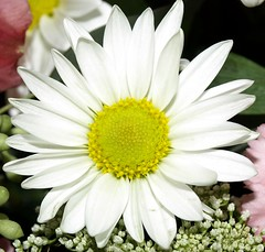 center daisy (mikebryant13) Tags: plants white flower macro nature daisy naturepeople