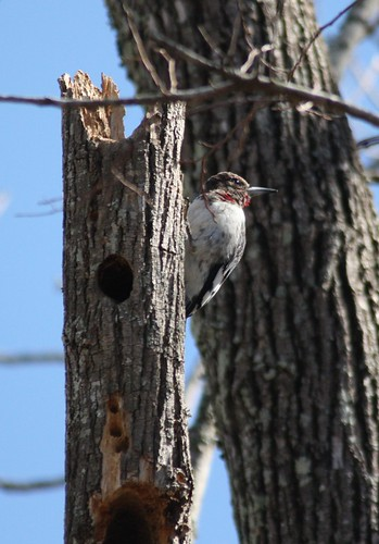 Red-headed Woodpecker - 2/11/2009