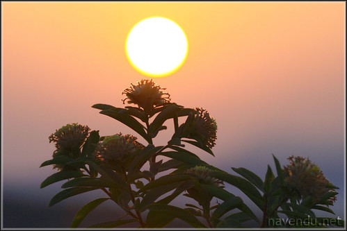 Sunrise viewed through wild flowers.