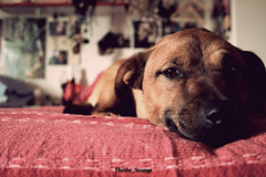 Blues (iFhe) Tags: portrait dog pet bed blues federica fhe ceccotti