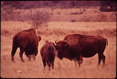 Buffalo in Meadow on Bell Ranch, 11/1972
