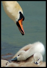 The protector (Levels Nature) Tags: uk england bird love nature bristol swan head beak cygnet waterbird somerset parent swans waterfowl mute tender cygnets muteswan wildfowl chewvalleylake carlsbirdclub joysaphinesfaves