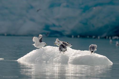 Kittiwakes on Iceberg at Monacobreen, Svalbard