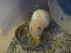 Yum yum! (Chiot D'amour) Tags: pet cute animal potato hamster sweetheart loved hammy missed syrian banded hammie timothyhay